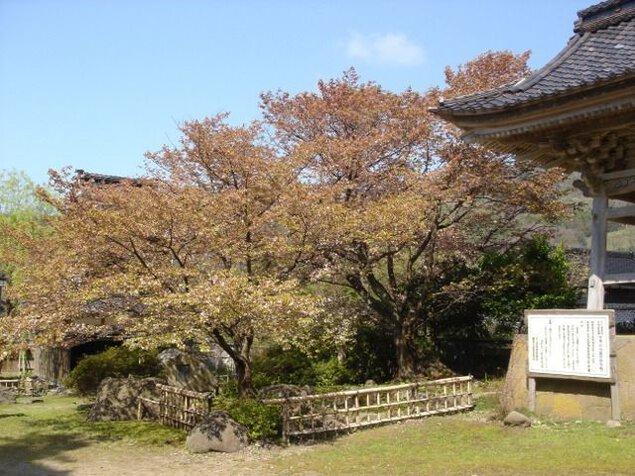 阿岸本誓寺の桜