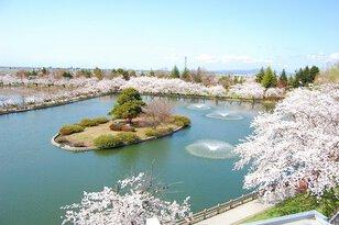 【桜・見頃】猿賀公園