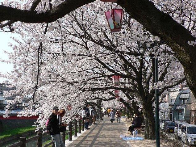 袋川堤防の桜
