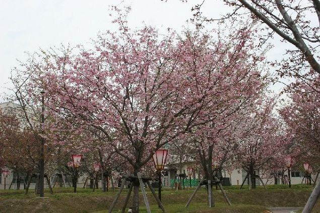 【桜・見頃】造幣局広島支局 花のまわりみち