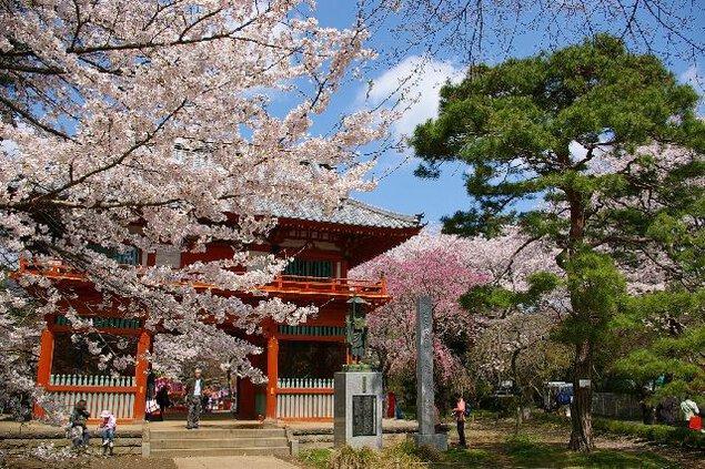 清水公園の桜