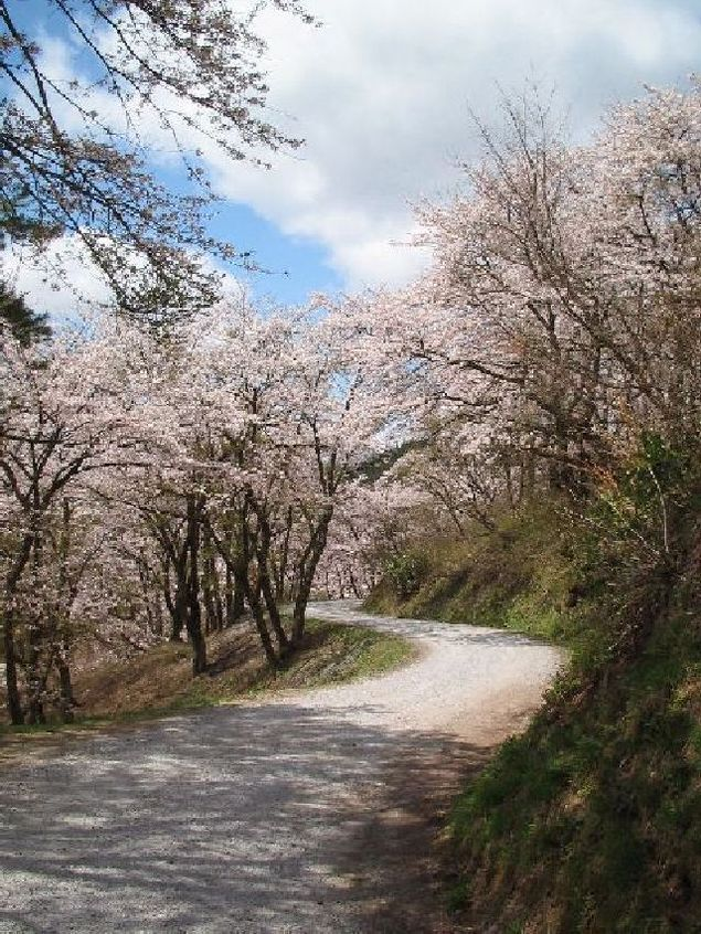 八乙女公園の桜