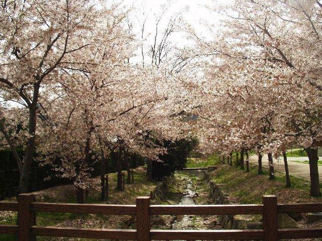 鹿島・扇平自然公園の桜