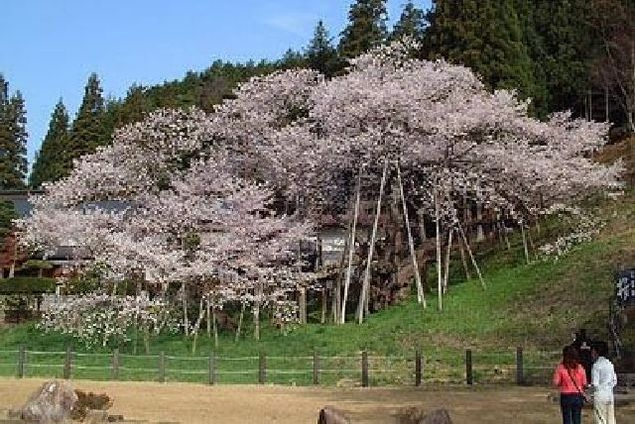 臥龍桜の桜
