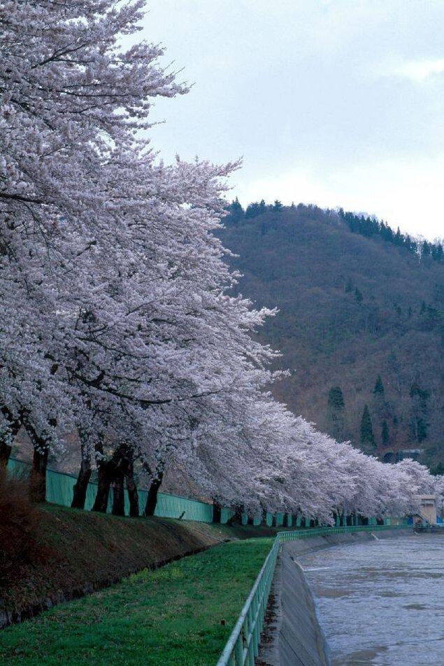 飯山西大滝ダムの桜