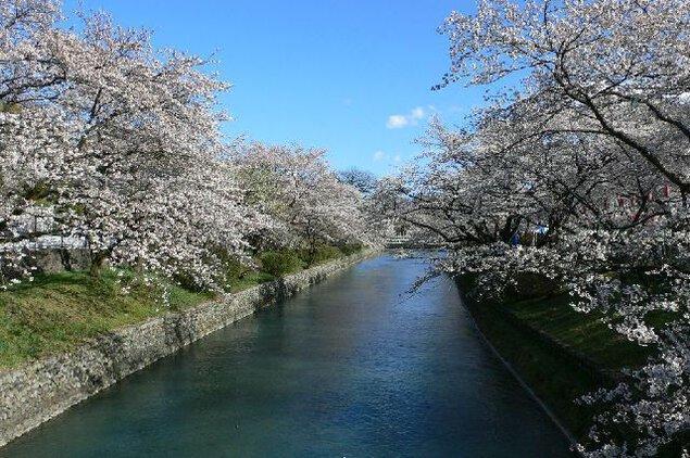 羽村堰の桜