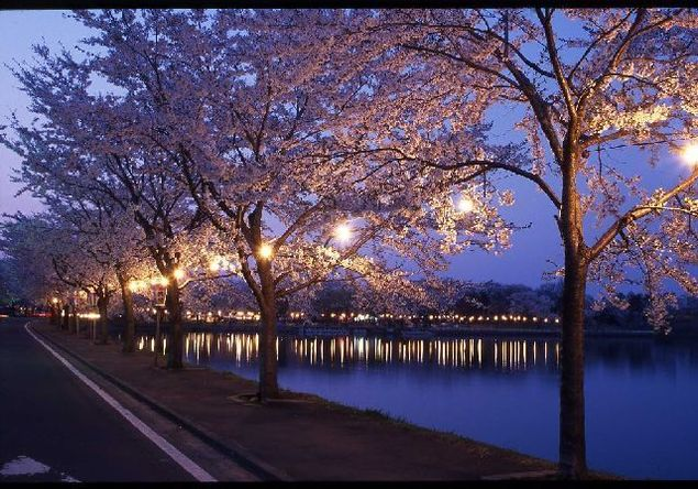 鷹巣中央公園の桜