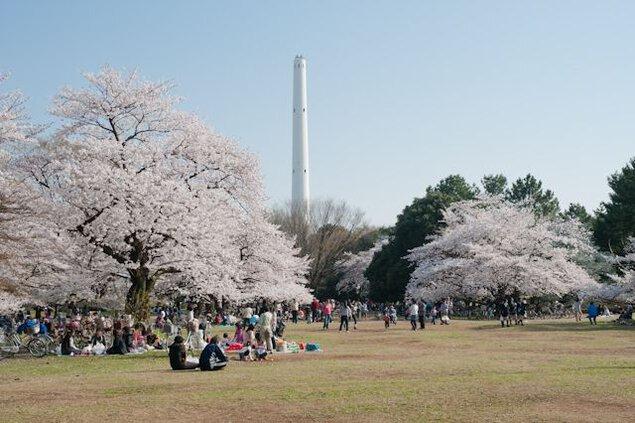 都立光が丘公園の桜