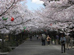 【桜・見頃】公渕森林公園