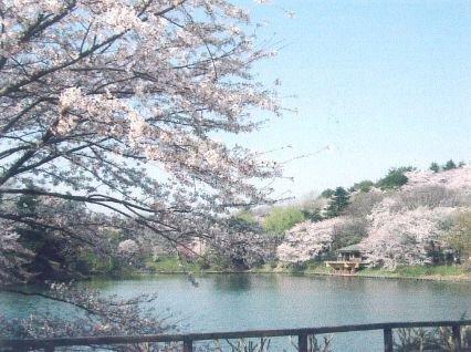 県立三ツ池公園の桜