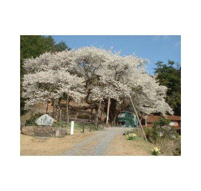 三隅大平桜の桜