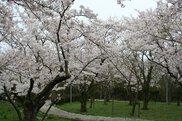 船上山万本桜公園