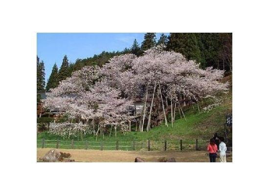 臥龍桜(臥龍公園)