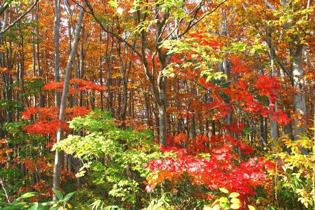 八甲田山(山麓付近)の紅葉