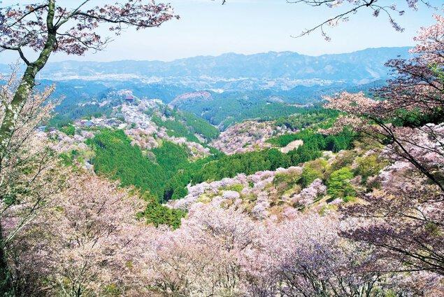 吉野山(上千本)の桜
