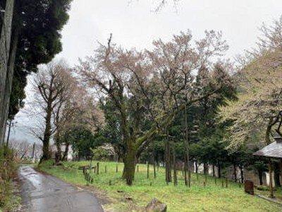 藤路の桜・向小駄良番所跡公園