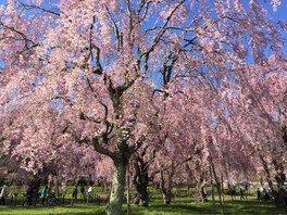 米内浄水場の桜 画像(2/2)