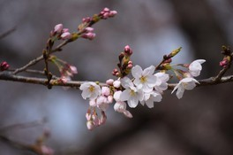 あけぼの山公園の桜 画像(3/3)