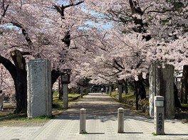 弥彦公園(早咲き)の桜 画像(2/5)