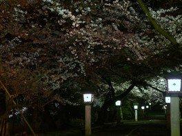 弥彦公園(早咲き)の桜 画像(3/5)