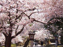 弥彦公園(早咲き)の桜 画像(4/5)