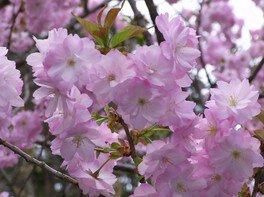 弥彦公園(早咲き)の桜 画像(5/5)