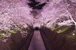 琵琶湖疏水の桜 画像(2/5)