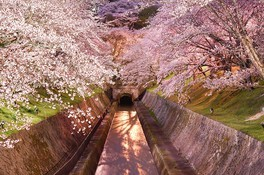 琵琶湖疏水の桜 画像(3/5)