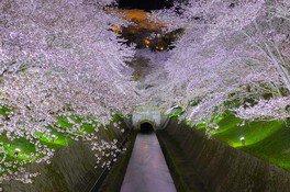 琵琶湖疏水の桜 画像(4/5)