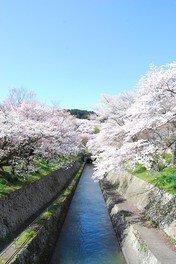 琵琶湖疏水の桜 画像(5/5)