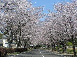 垂水公園の桜 画像(2/4)