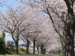 垂水公園の桜 画像(3/4)