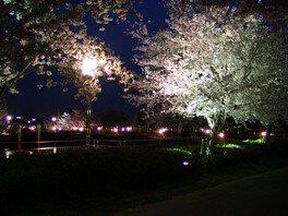 エブノ泉の森ホール周辺の桜 画像(2/4)