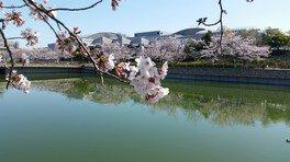 エブノ泉の森ホール周辺の桜 画像(4/4)