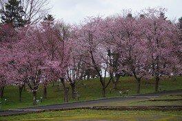 芦別市旭ヶ丘公園の桜(2/4)