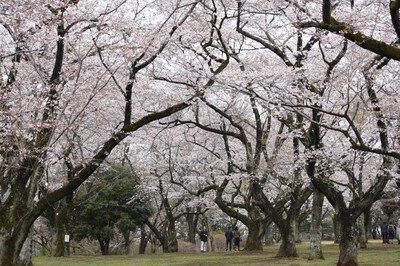 あけぼの山公園の桜