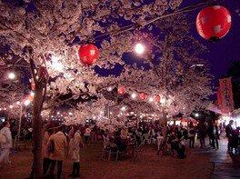 西公園の桜 画像(2/4)