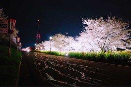 大河津分水の桜並木 画像(3/3)