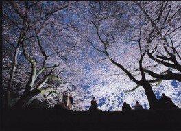国宝・彦根城の桜 画像(2/4)
