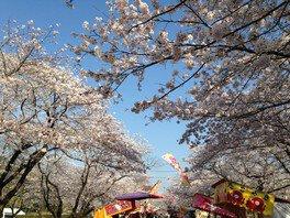 母智丘公園の桜 画像(2/5)