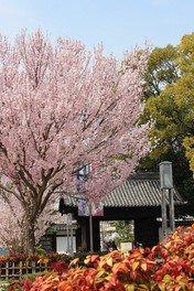 徳川園の桜 画像(2/2)