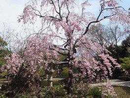 徳川園の桜 画像(3/5)