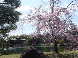 徳川園の桜 画像(4/5)