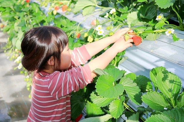 上里いちご&トマト園 いちご狩り