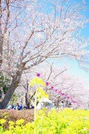千葉こどもの国KidsDomの桜 画像(2/3)