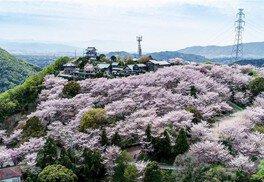 朝日山森林公園の桜(3/3)