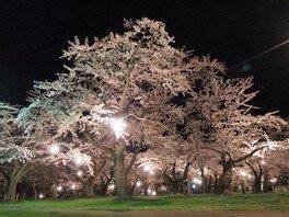 青葉ヶ丘公園の桜 画像(2/4)
