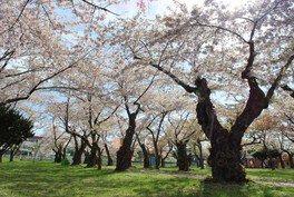 青葉ヶ丘公園の桜 画像(3/4)