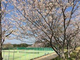 南房総市千倉総合運動公園の桜 画像(2/2)
