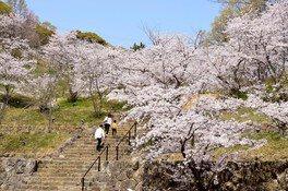 県立桃陵公園の桜 画像(2/2)